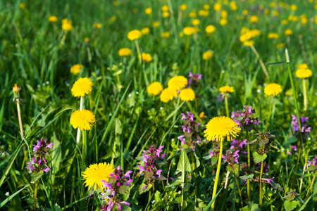 Some Purple Dead Nettle (Lamium purpureum) and yellow dandelion in meadow. Selective focus Stock Photo