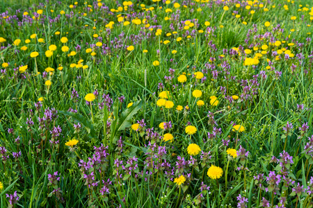 Some Purple Dead Nettle (Lamium purpureum) and yellow dandelion in green meadow in springtime. Natural background Stock Photo