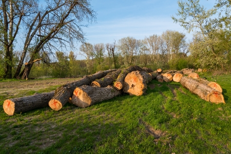 felled: Felled trees on the ground during deforestation. Environment, nature and deforestation forest