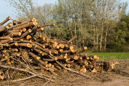 Stack of felled trees. Pine wood industry. Fallen trees. Felling and cutting of forests