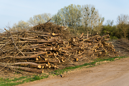 felled: Stack of felled trees. Pine wood industry. Fallen trees. Felling and cutting of forests