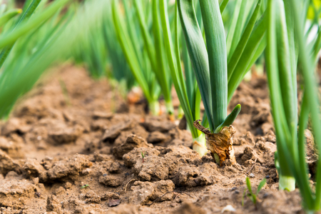 Close up of spring onion sprouts in vegetable garden in early spring Stock Photo