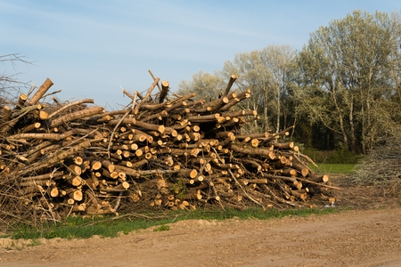 felling: Stack of felled trees. Pine wood industry. Fallen trees. Felling and cutting of forests
