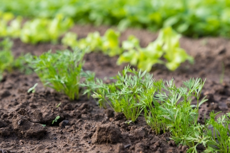 Young carrot plant sprouting out of soil on a vegetable bed. Shot with shallow depth of field. Stock Photo