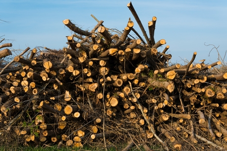 felling: Stack of felled trees. Pine wood industry. Felling and cutting of forests