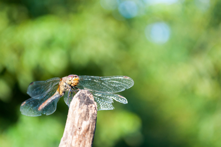 Dragonfly with green blurred background. Space in top and right side Stock Photo