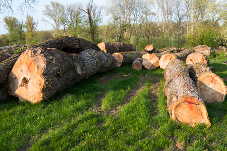 Felled trees on the ground during deforestation. Environment, nature and deforestation forest