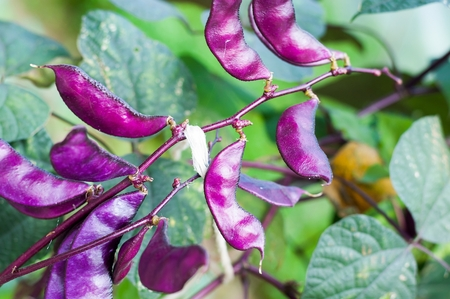 dolichos lablab: Crop of Purple Hyacinth Bean (Lablab purpureus)