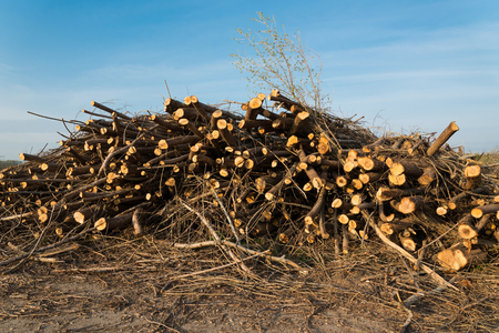 felling: Stack of cut trees stacked under blue sky. Pine wood industry. Fallen trees. Felling and cutting of forests Stock Photo