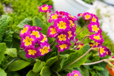 Blooming pink spring primulas in flower bed Stock Photo