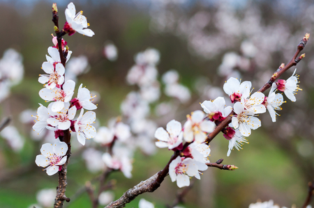 Branch of the apricot tree with white flowers in spring. Blurred natural background Stock Photo - 56065834