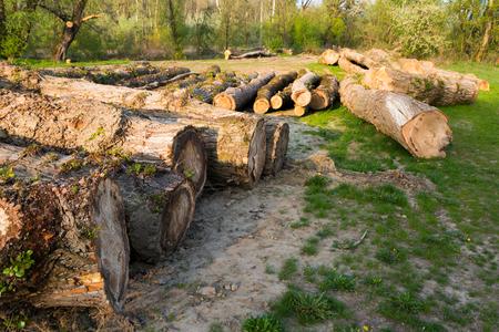 deforestacion: Árboles derribados en el suelo durante la deforestación. Medio ambiente, la naturaleza y el bosque de la deforestación