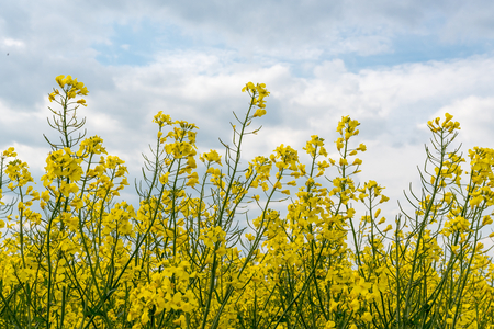 Detail of yellow canola (Brassica napus L.) with cloudy sky