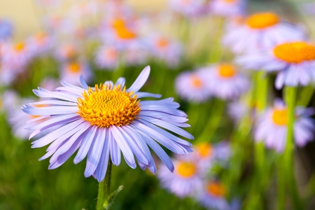 Detail view of nice purple daisy (marguerite) in the garden in springtime