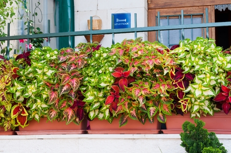 Colorful Coleus or Painted Nettle flower in flowerpot as decoration