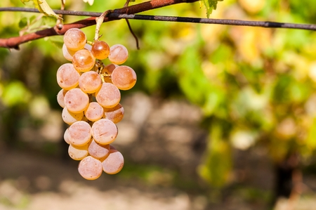 Wine grape with blurred natural background and space on right side