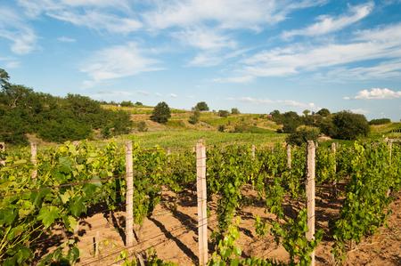 Rows of vineyard before harvesting in Slovakia