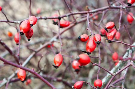 Red rosehips growing on a rose hip bush. Shallow depth of field.