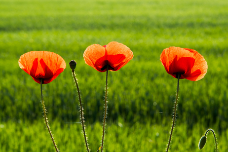 Three beautiful red poppies with blurred natural green background