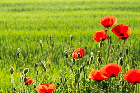 Beautiful red poppies with blurred natural green background. Space in left side.