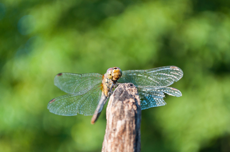 Dragonfly with green blurred background. Space in top side