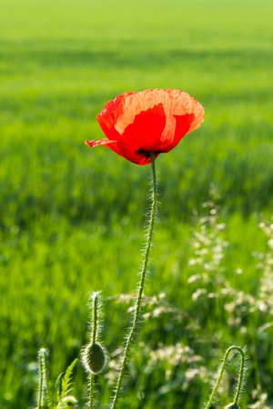 Detail view of beautiful red poppy with blurred natural green background Stock Photo