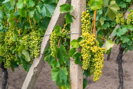 Bunch of ripe white wine grape on grapevine before harvesting.