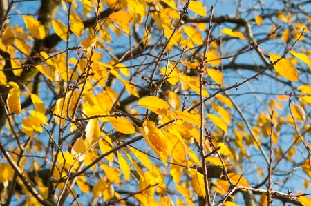 Detail of backlit yellow autumn leaves on a sunny day Stock Photo