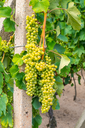 Bunch of ripe white wine grape on grapevine before harvesting