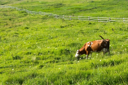 Brown cow graze on meadow with green grass. Wooden fence in background. Space in left side