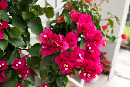 Detail of beautiful red Bougainvillea flowers as background Stock Photo