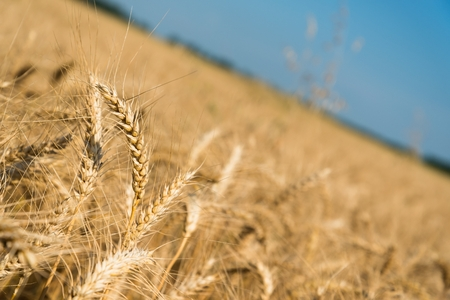 Golden wheat spikes with blue sky in background. Space in right side. Selective focus
