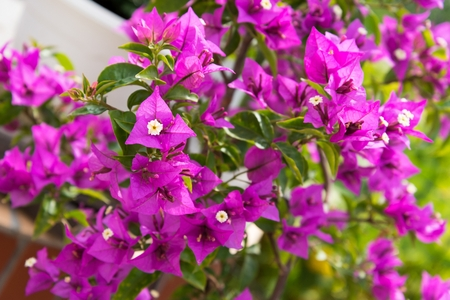 Detail of beautiful pink Bougainvillea flowers as background Stock Photo