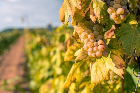 Wine grape with blurred natural background and space on left side Stock Photo
