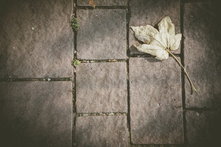 Fallen yellow maple leaf on the cobblestone pavement in autumn. Space in center