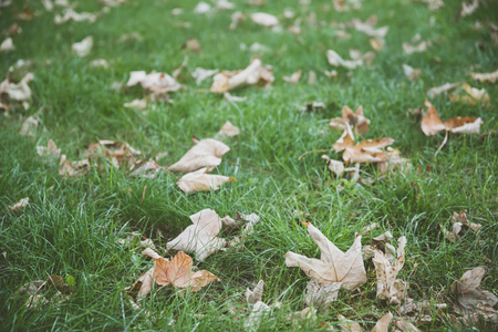 Fallen dry leaves on green grass in autumn. Autumnal background with film effect. Stock Photo