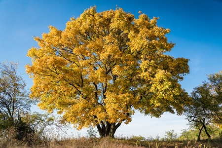 High autumn maple tree with yellow leaves and blue sky. Autumn landscape Stock Photo