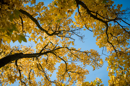 Backlit yellow autumn leaves of maple trees against blue sky on a sunny day