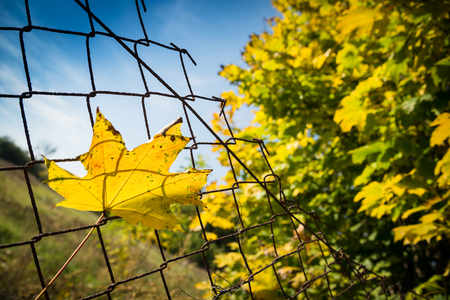 Fallen autumn maple tree leaf caught on rusty wire mesh fence, detailed macro closeup, autumn concept, gentle bokeh. Blurred tree in right side and blue sky. Stock Photo