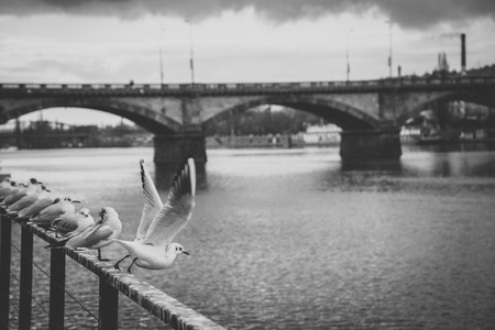 Many white seagulls standing on railing on the riverside of the Vltava river near Palacky bridge in Prague, Czech Republic. Black and white photo with matt effect Stock Photo