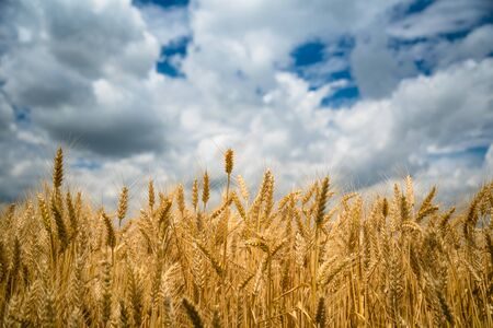 Golden wheat field with blue sky and white clouds in background Stock Photo