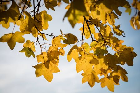 Detail of backlit yellow autumn leaves against sky on a sunny day