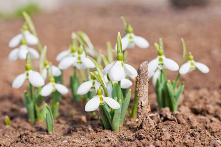 Group of beautiful fresh snowdrops (Galanthus nivalis) in early spring Stock Photo