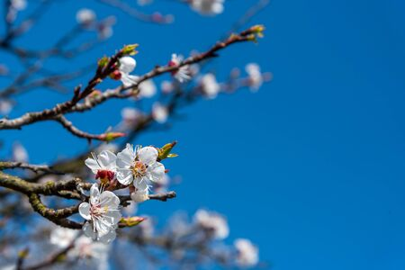 Branch of the apricot tree with white flowers in spring against blue sky Stock Photo