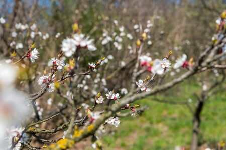 Branch of the apricot tree with white flowers in spring. Shallow DOF. Selective focus Stock Photo - 144070982