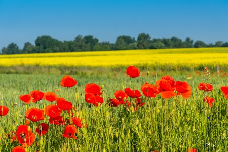 Field of red wild poppies under blue sky on a sunny day. Spring landscape