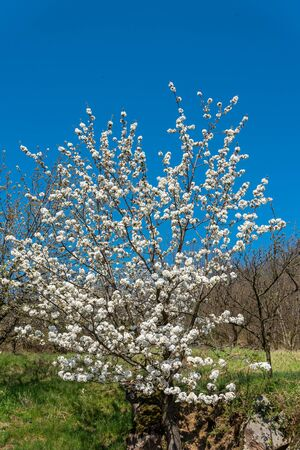 Cherry tree with white flowers in spring time against blue sky.
