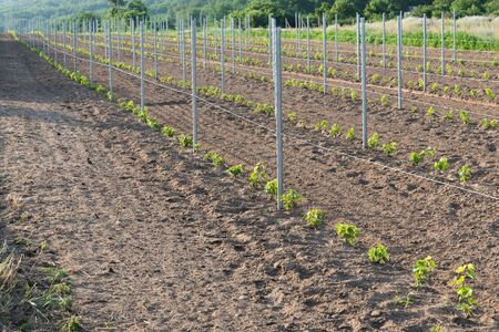 New vineyard with young plants of grapevine in a field