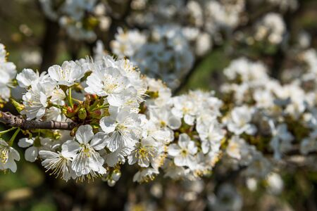 Cherry tree branch with many white cherry flowers in spring. Selective focus