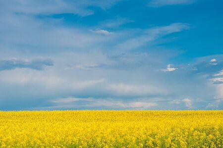 Yellow canola (Brassica napus L.) field with blue sky